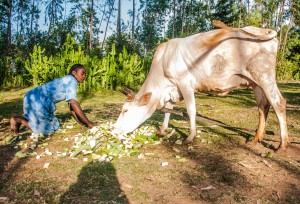 Langano feeds her cow leaves and pseudo stems of the enset. it's an important food and livestock feed