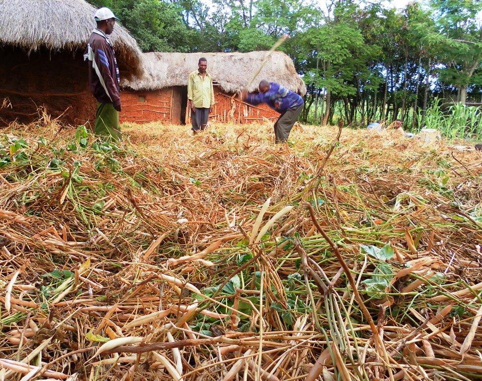 Farmers threshing beans in Babati, Tanzania