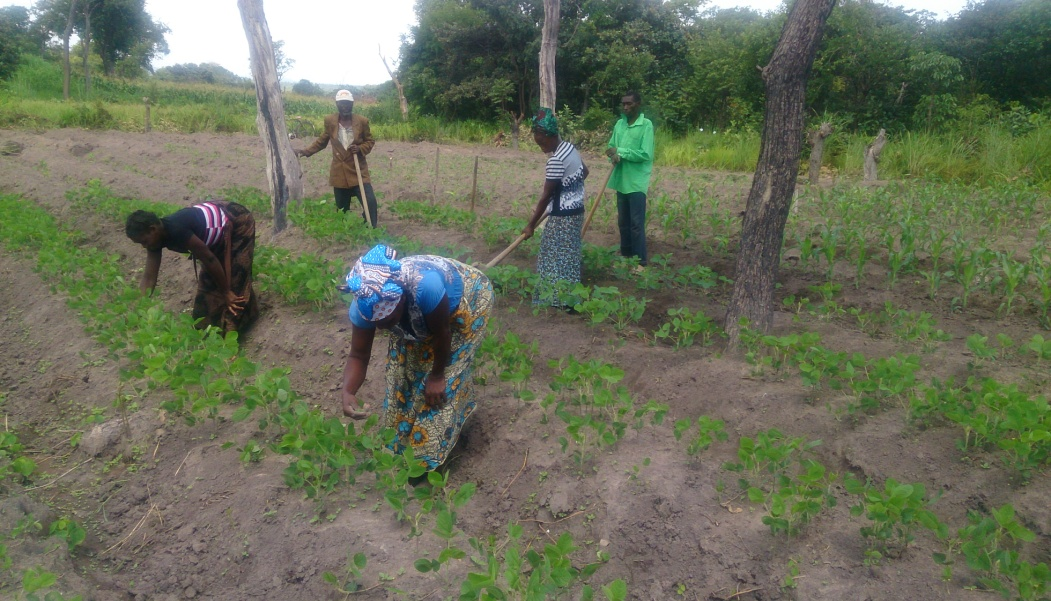 Farmers weeding soybean plots at a SUN demo site in Kasama, Northern Province