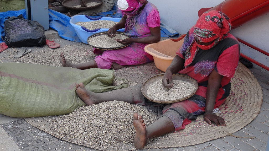 Women sift sorghum that will be roasted and used as a carrier for the aflasafe.