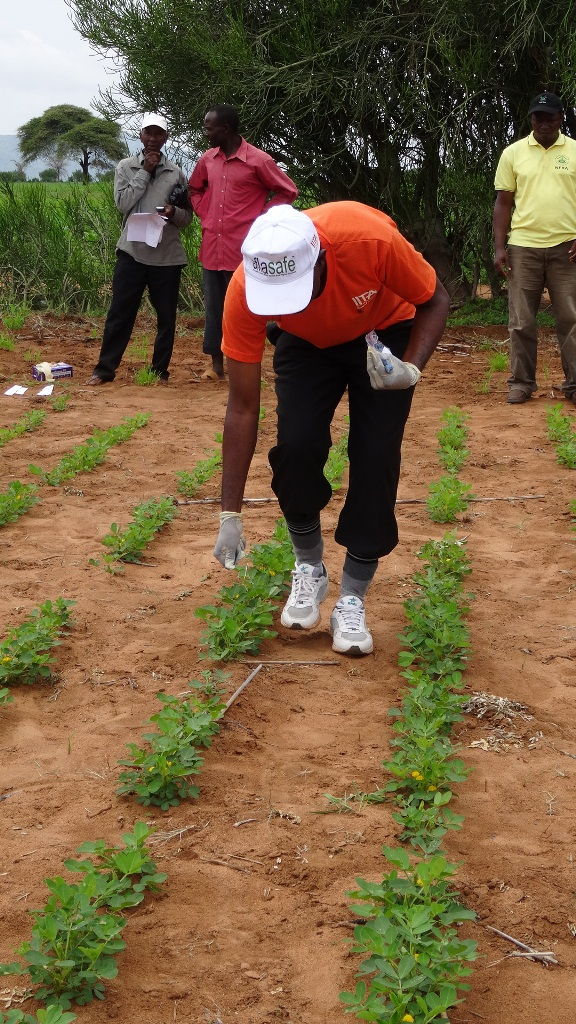 IITA's Greg Ogbe demonstrates how to apply aflasafe on groundnuts.