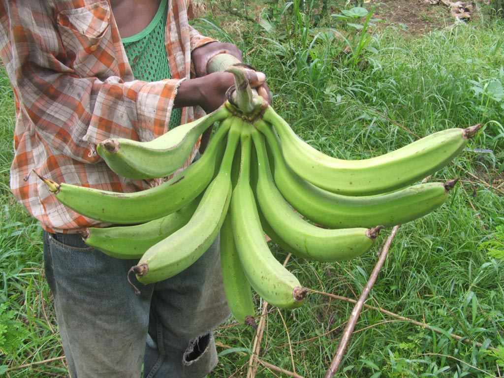 Picture of A Horn plantain variety called Ikpolo Noir found in DR Congo