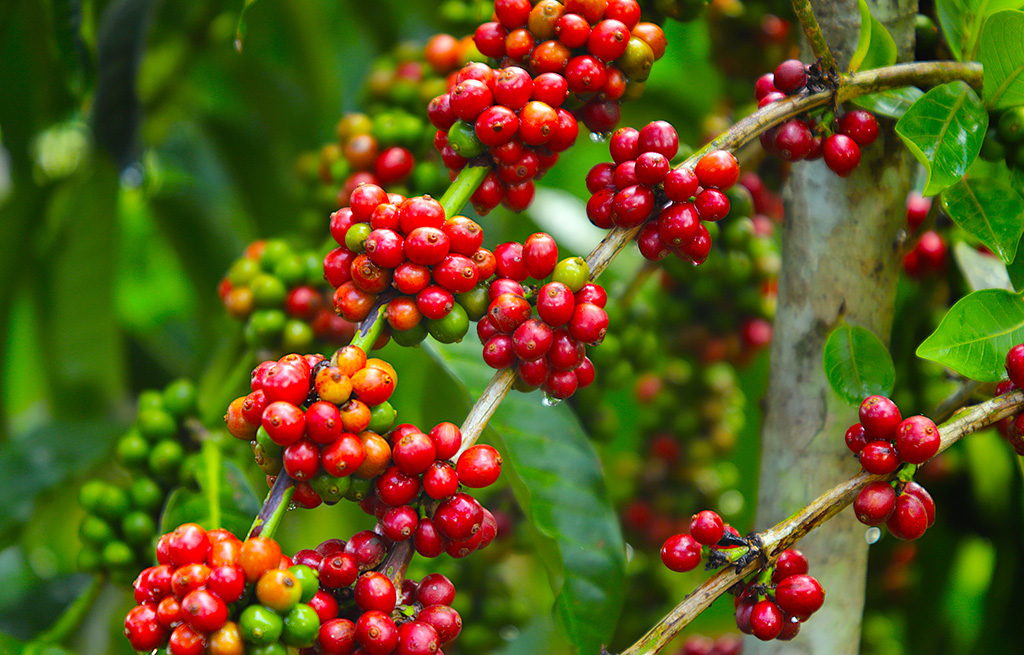 Step-wise promotion of coffee, climate smart agriculture, and good agronomic practices to increase production and productivity