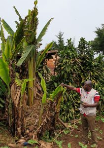 A quarantine inspector observing banana mat destroyed by the banana bunchy top virus that was first reported in sub-Saharan Africa about 60 years ago, presently widespread in Central African and recently invaded West Africa.